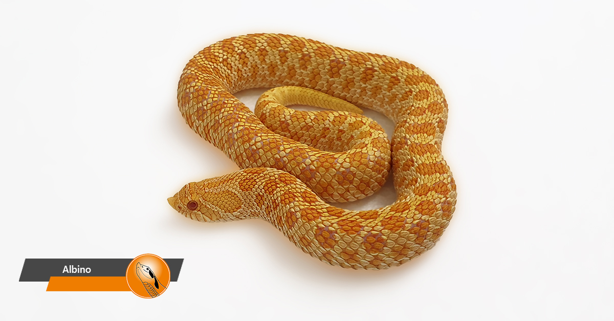 Hognose - Albino