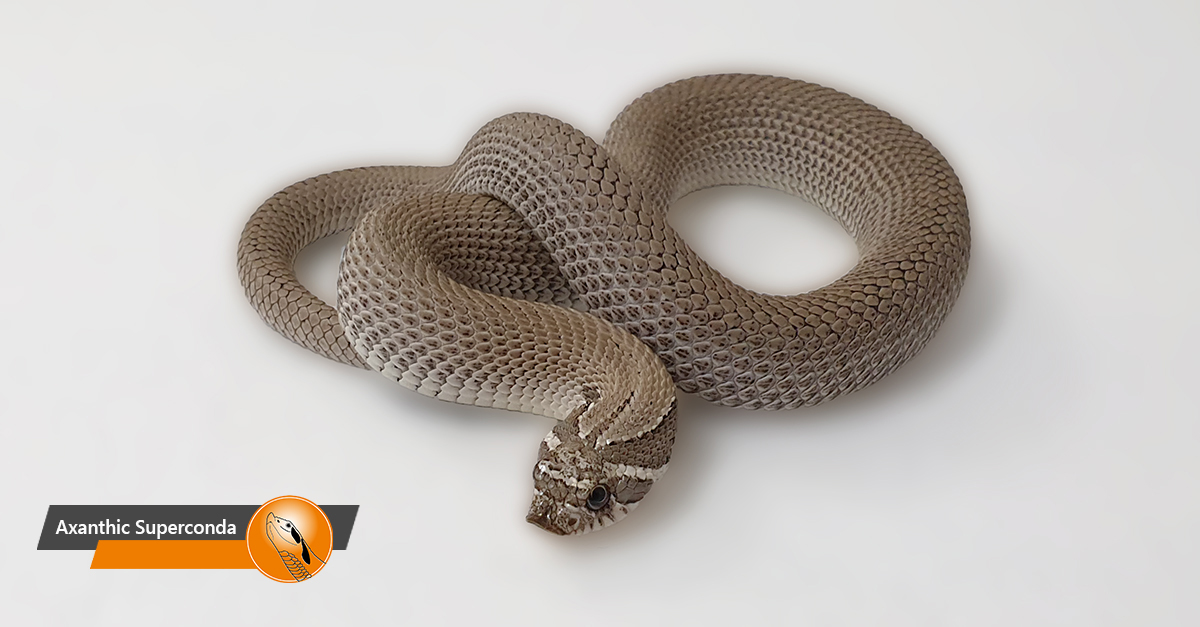 Hognose - Axanthic Superconda