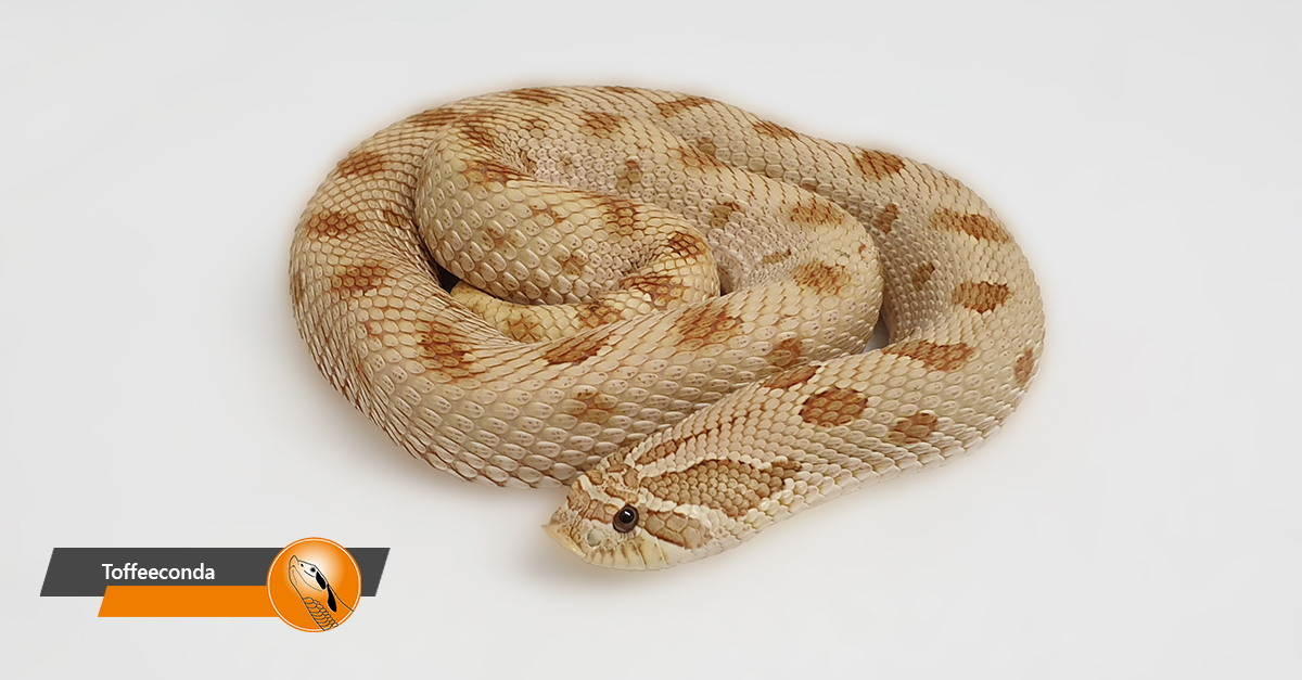 Hognose - Toffeeconda (Toffeebelly Anaconda)