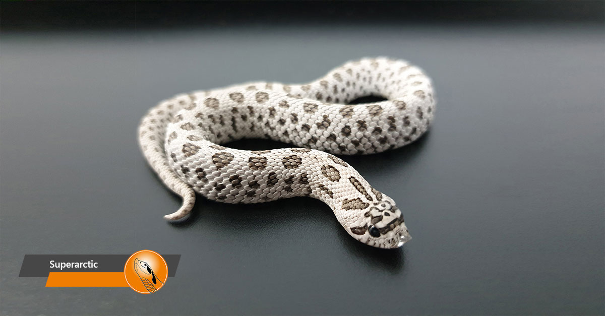 Hognose - Superarctic