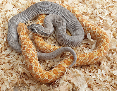 Hognose snakes - Axanthic Superconda and Albino
