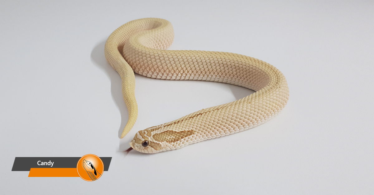 Hognose snake - Candy (Toffeebelly Superconda)