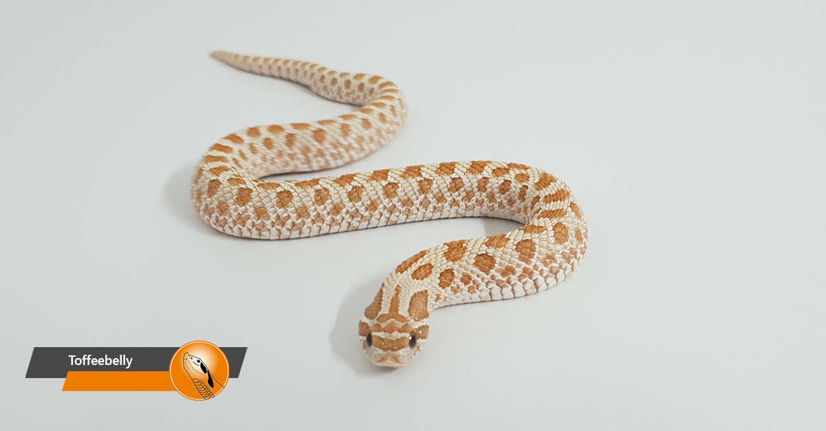 Hognose snake - Toffeebelly