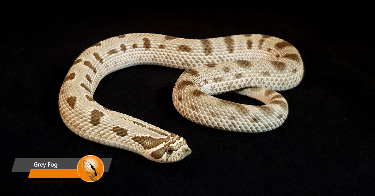 Hognose - Grey Fog (Arctic Anaconda)
