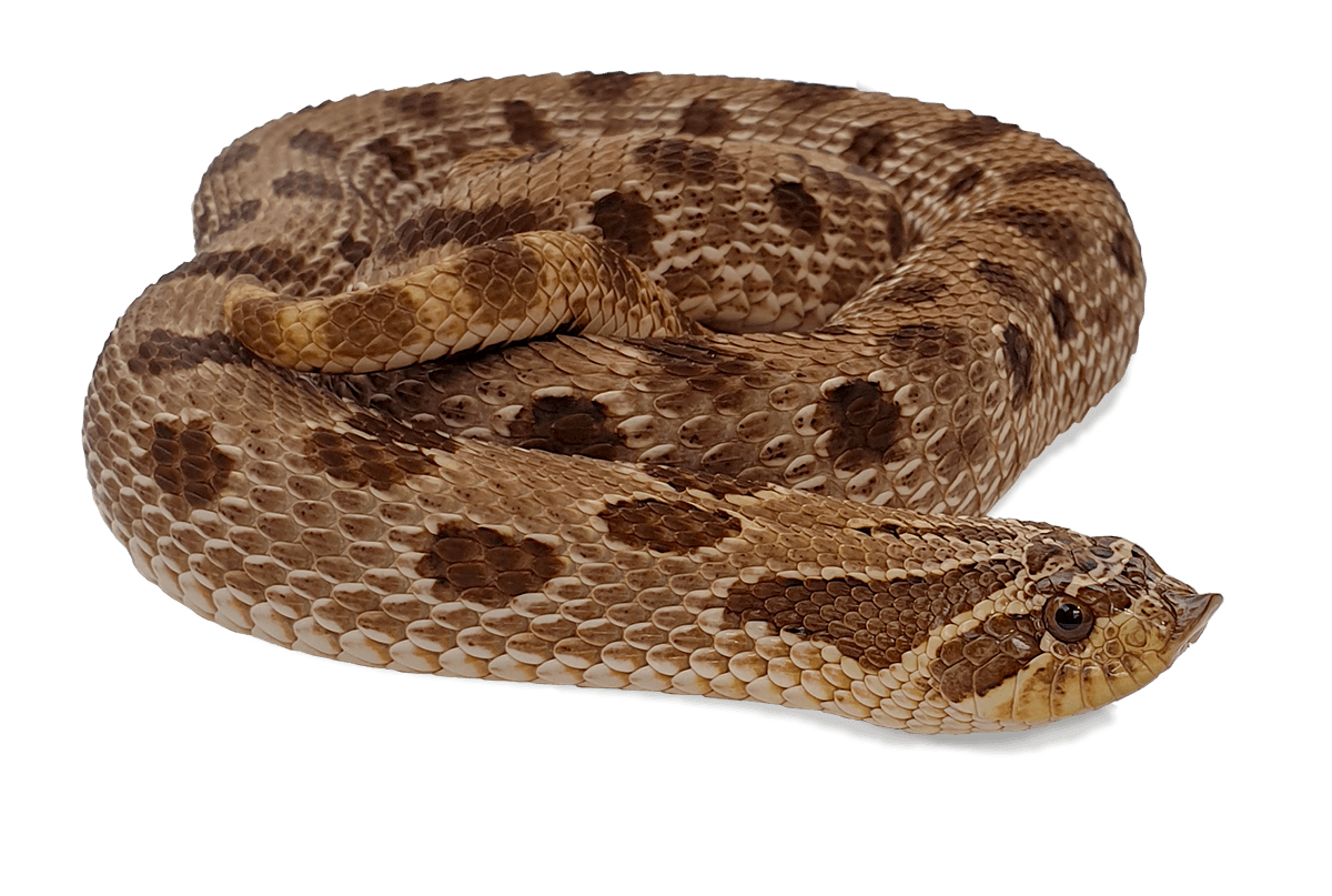 Hognose - Anaconda