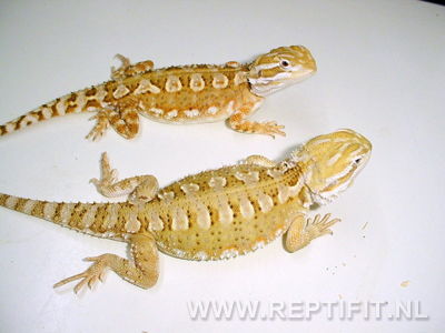 Pogona henrylawsoni - (Reptifit) Yellow and (Reptifit) Orange
