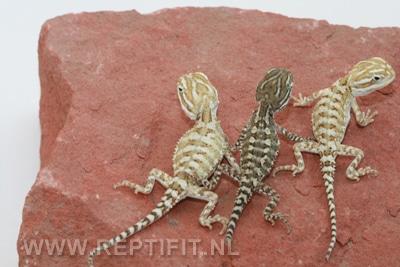 Pogona henrylawsoni - hatchlings