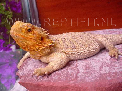 Pogona vitticeps - (Sandfire) Red-Gold