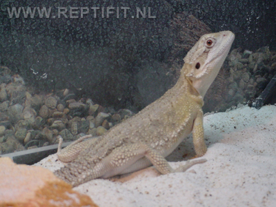 pogona_mitchelli_female1