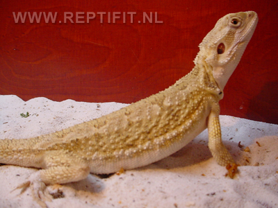 pogona_mitchelli_female2