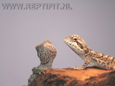 pogona_mitchelli_hatchlings