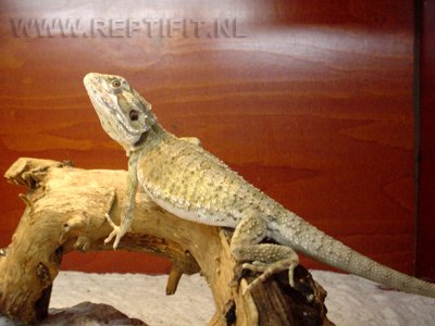 pogona_mitchelli_male1