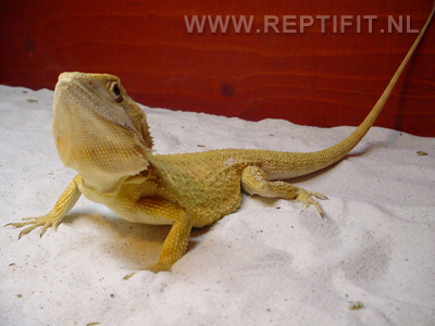 pogona_mitchelli_male2