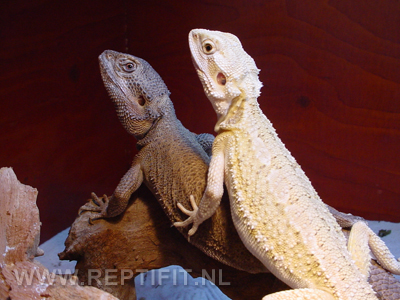 pogona_mitchelli_pair1